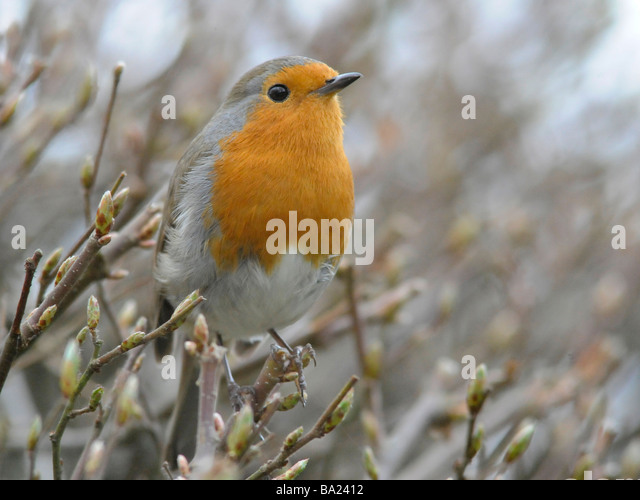 A robin perching on a small branch - Stock Image