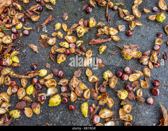 Windfall conkers and shells. - Stock Image