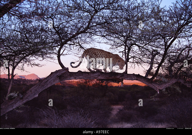Leopard at dawn Namibia - Stock Image