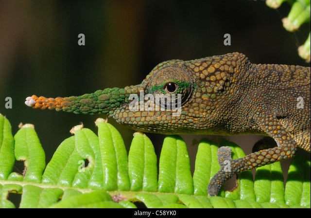 Male Long-nosed Chameleon (Calumma gallus) in the rainforest of Ambavaniasy, eastern Madagascar. August 2010. - Stock Image