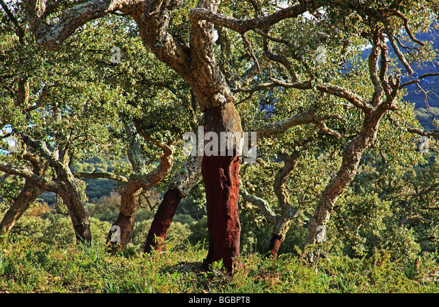 Old Cork Oak tree; Andalucia, Spain - Stock Image