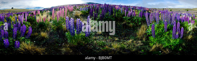 New Zealand, South island,  Panorama, Lake Tekapo, Lupines - Stock Image