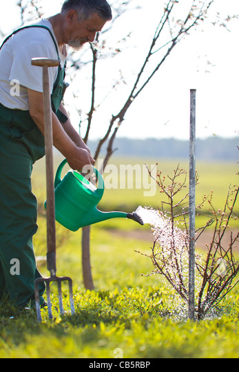 Senior man watering his garden/orchard - Stock Image