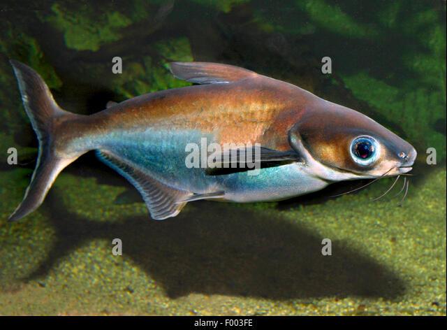 Sutchi catfish (Pangasius sutchi), swimming - Stock Image