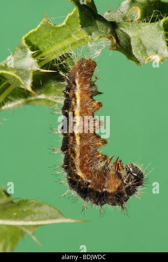 painted lady butterfly caterpillar - photo #34