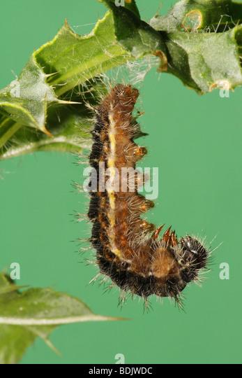 Vanessa Cardui Caterpillar Stock Photos & Vanessa Cardui ...