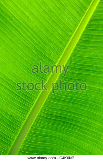 Musa.  Banana leaf pattern - Stock Image