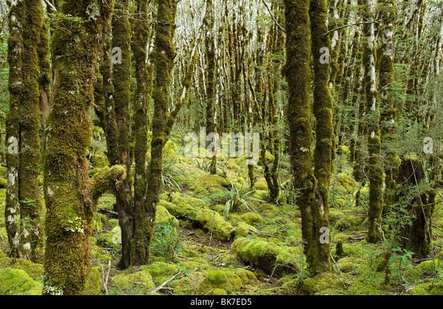rain forest on Arthur's Pass - Stock Image