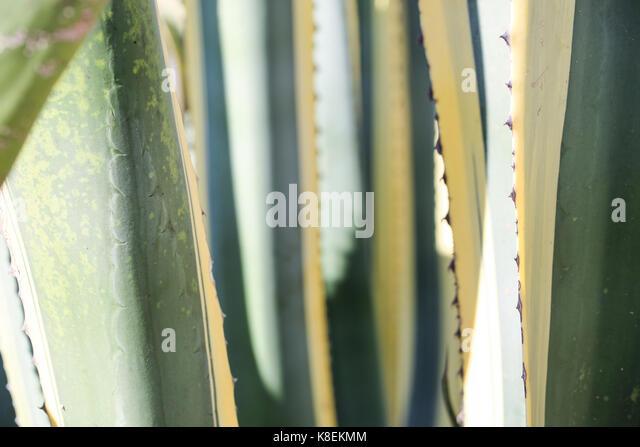Agave americana closeup - Stock Image