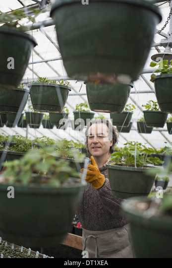 Spring growth in an organic plant nursery A man in a glasshouse planting containers - Stock Image