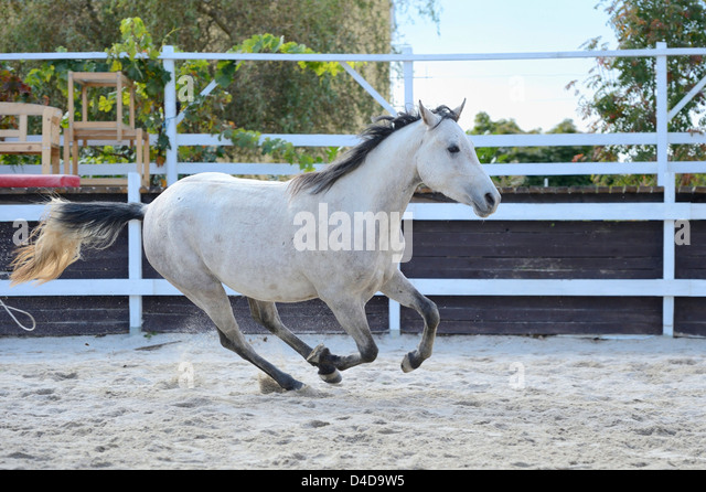 Gray horse gallopping in a show-jumping course, portrait - Stock Image
