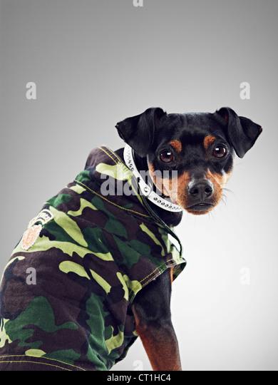 Dog wearing collared jacket - Stock Image