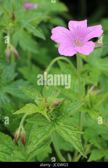 Best Geraniums images in