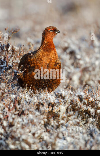 Male red grouse, Latin name Lagopus lagopus scotica, among frosted heather - Stock Image