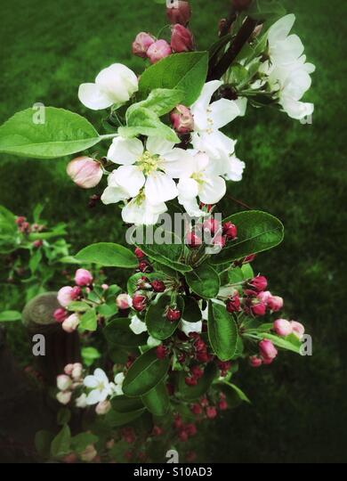 White blossoms - Stock Image