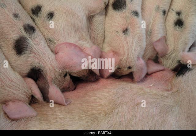 Piglets suckling 'Gloucester Old Spot' pigs Farm - Stock Image