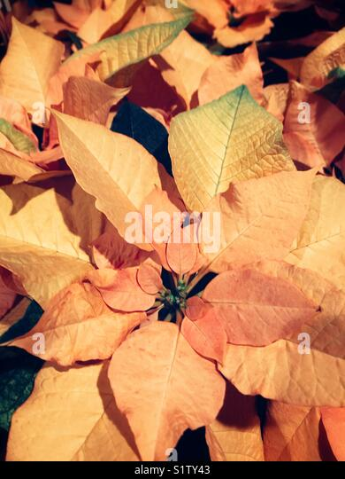 Orange leaves poinsettia - Stock Image