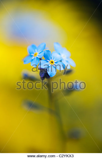 Myosotis. forget me not flowers in front of yellow Doronicum Caucasicum Leopards bane flower - Stock Image