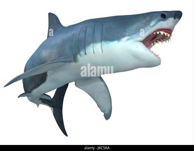 The Great White shark can live for 70 years and grow to be 21 feet long and live in coastal surface waters. - Stock Image