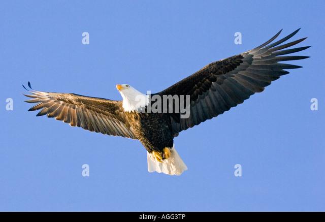 Bald Eagle in mid air flight over Homer Spit Kenai Peninsula Alaska Winter - Stock-Bilder