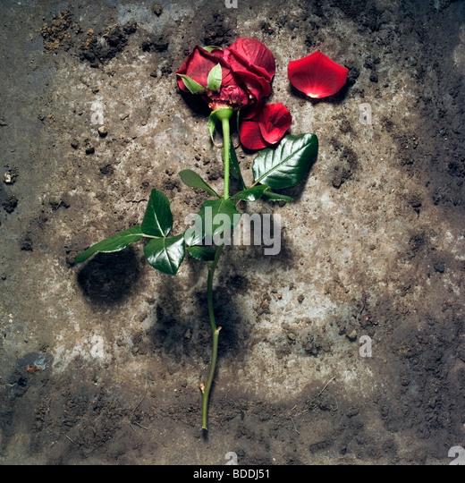 Red rose discarded - Stock-Bilder