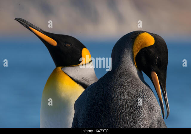 King Penguin (Aptenodytes patagonicus) from Tierra del Fuego, Chile - Stock Image