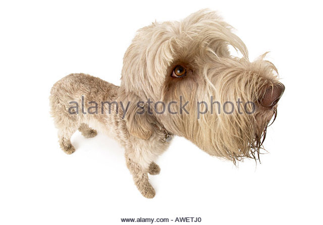 Italian Spinone dog looking wistfully at the camera, white background. - Stock Image