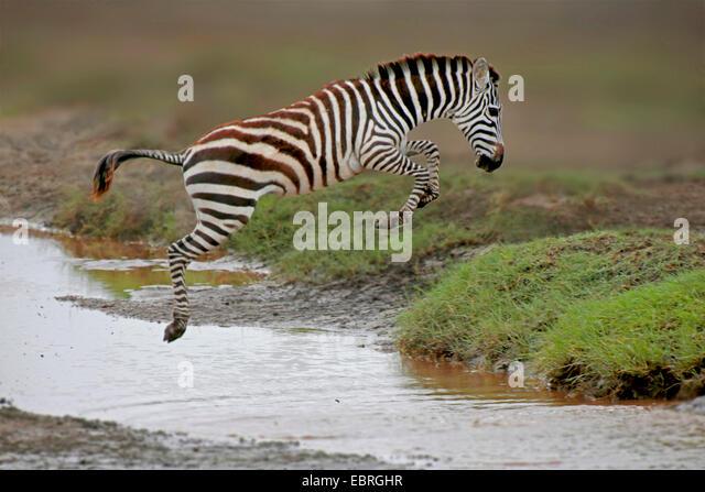 Common Zebra (Equus quagga), jumping over a creek, Tanzania, Serengeti National Park - Stock Image