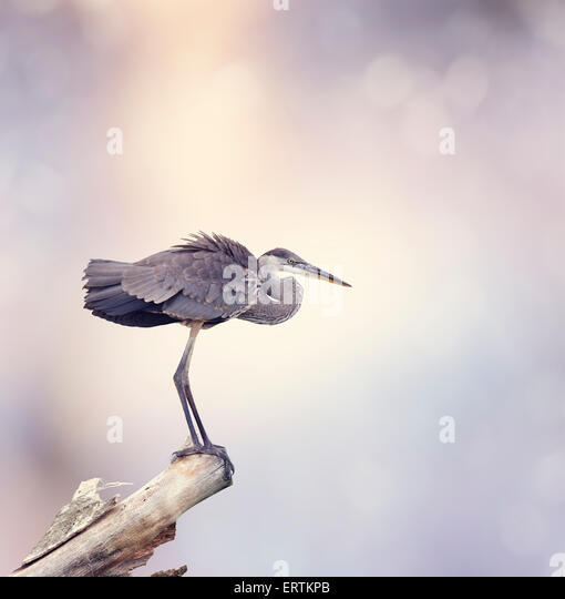 Great Blue Heron Perches On A Branch - Stock-Bilder