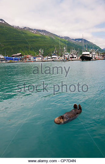 Sea Otter swims in Valdez Boat Harber with boats and Chugach Mountains in the background, Southcentral Alaska, Summer - Stock Image