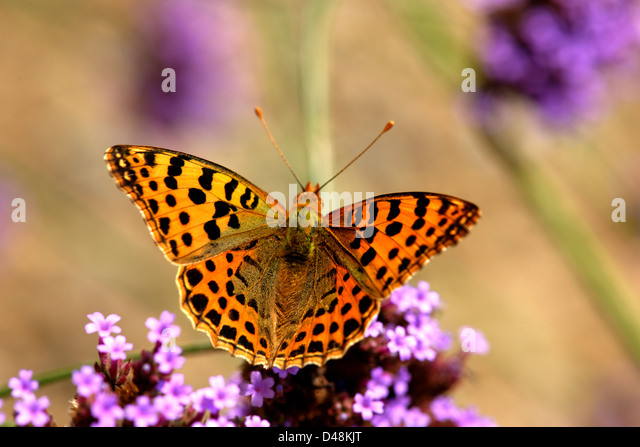 Silver washed fritillary butterfly on verbena bonariensis, France - Stock Image
