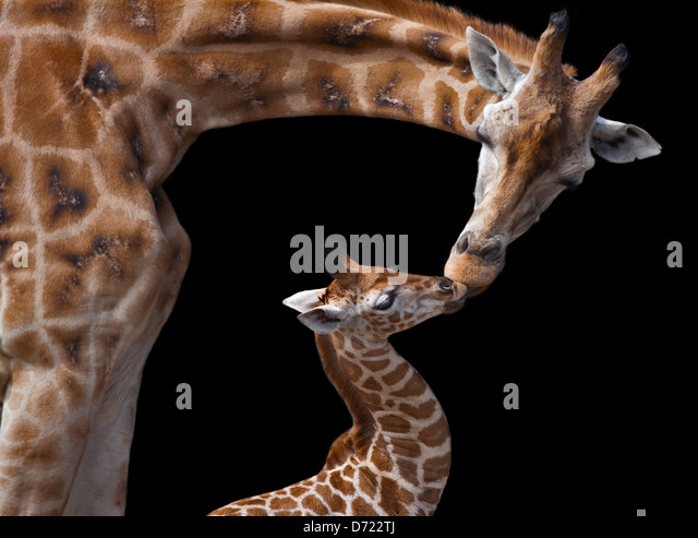 Giraffe (giraffa camelopardarlis) parent and calf kissing - Stock-Bilder