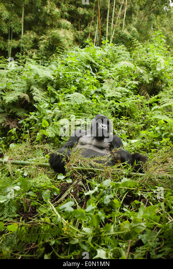 Mountain Gorilla, Agashya Group, in the vegetation of Volcanos National Park, Rwanda, Africa (Gorilla beringei beringei) - Stock-Bilder