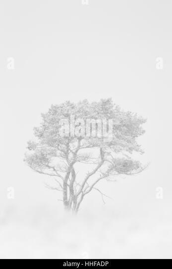 B&W Silver birch tree, Latin name Betula pendula, in a snow storm - Stock Image