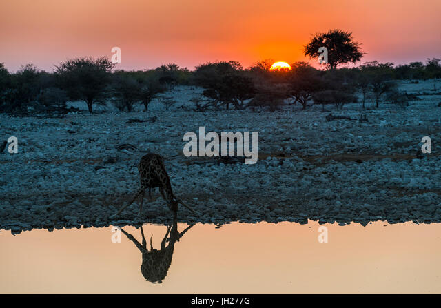 Giraffe reflected in the water of a waterhole, Okaukuejo Rest Camp, Etosha National Park, Namibia, Africa - Stock Image