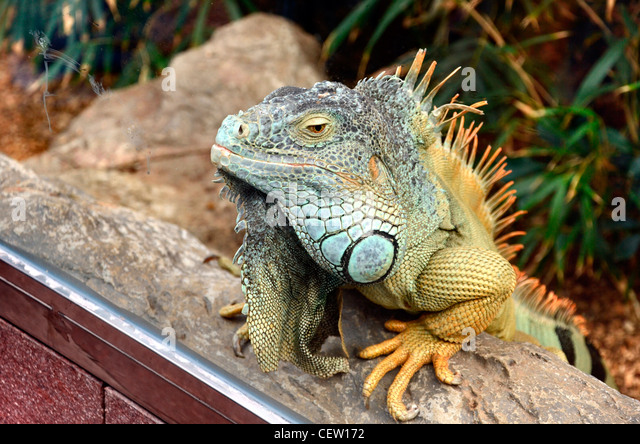 Green Iguana at the Loro Parque aquarium and Theme Park, Costa Adeje, Tenerife, Canary Islands, Spain - Stock Image