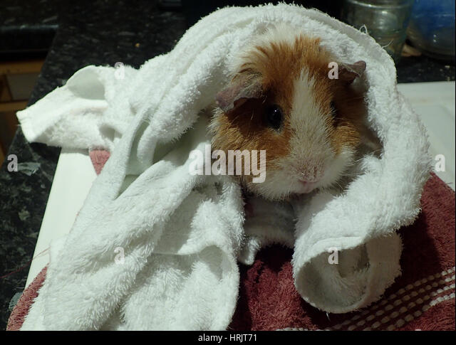 Ginger and white rex guinea pig wrapped in towels after a bath - Stock Image