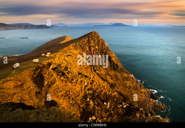 Sheep grazing on coastal hillside - Stock Image