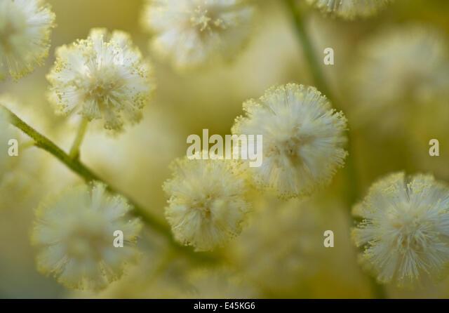 White mimosa tree (Acacia dealbata) flowers, Madeira, March 2009 - Stock Image