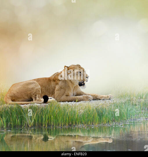 Female Lion Resting Near Pond - Stock Image