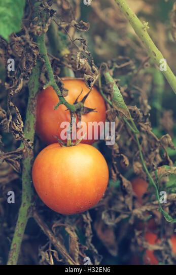 Organic tomato growth, ripe produce in vegetable garden - Stock Image