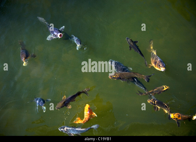 Ornamental fish stock photos ornamental fish stock for Green koi fish for sale