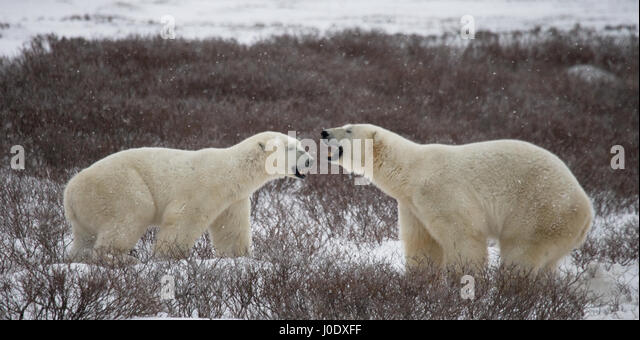 Two polar bears playing with each other in the tundra. Canada. An excellent illustration. - Stock Image
