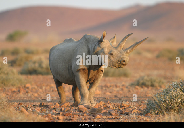 Female Black Rhino in the Western Desert Damaraland, Namibia Africa.  Diceros Bicornis - Stock Image