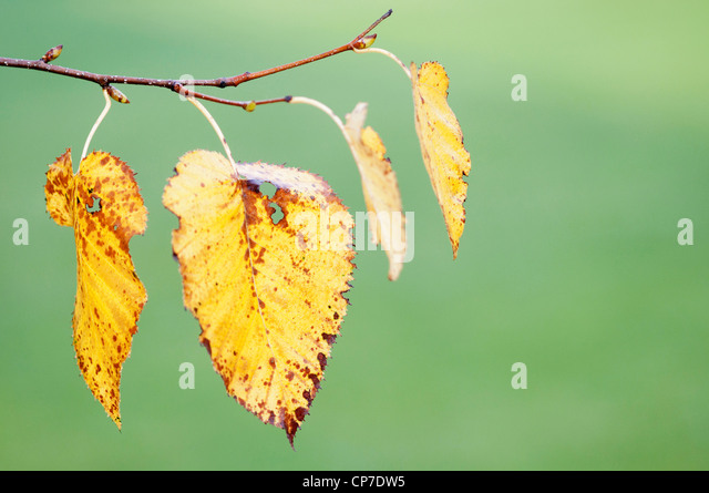 Betula pendula, Birch, Silver birch, Yellow, Green. - Stock Image