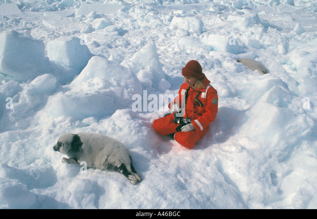 Ecotourism Canada harp seal pup - Stock Image