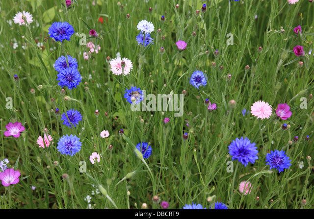 field with various wildflowers. Photo by Willy Matheisl - Stock Image