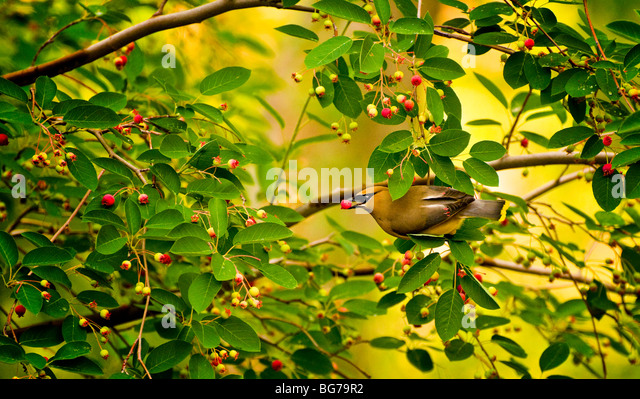 Idaho, Wildlife, Bird, Song Birds, Cedar Waxwing feeding from serviceberry tree. - Stock-Bilder