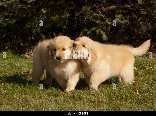 two golden retriever puppies in stock photos two golden retriever puppies in stock images alamy. Black Bedroom Furniture Sets. Home Design Ideas