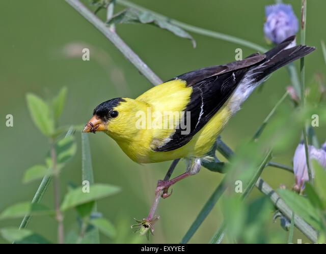 Male American Goldfinch Feeding in the Bushes - Stock-Bilder